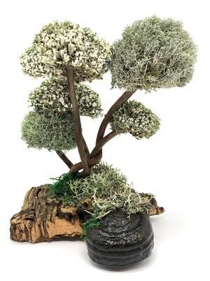 Дерево из Цетрарии - лиана