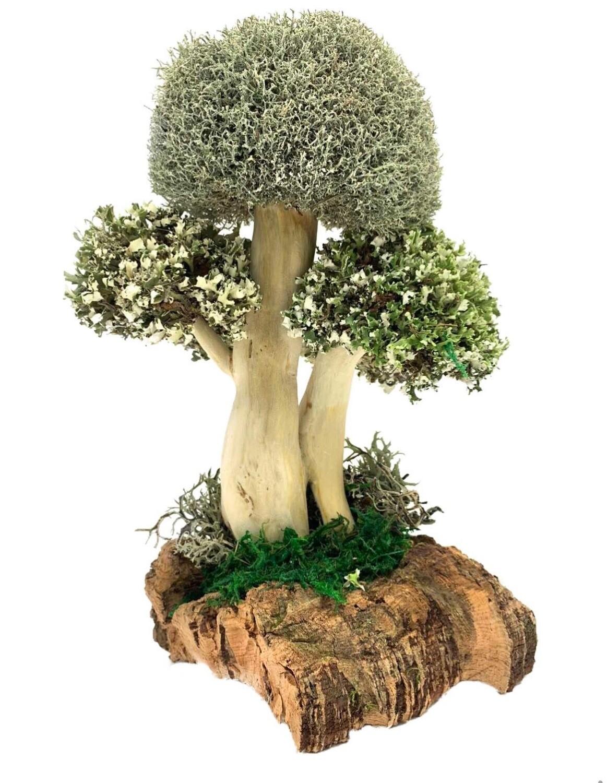 Дерево с тремя кронами цетрарии