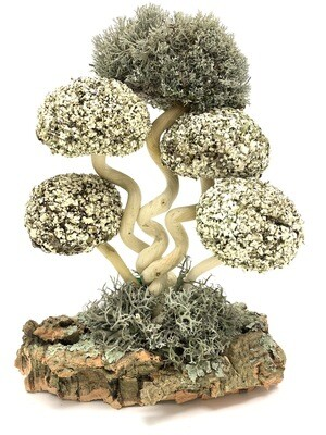 Дерево с кронами цетрарии Лиана