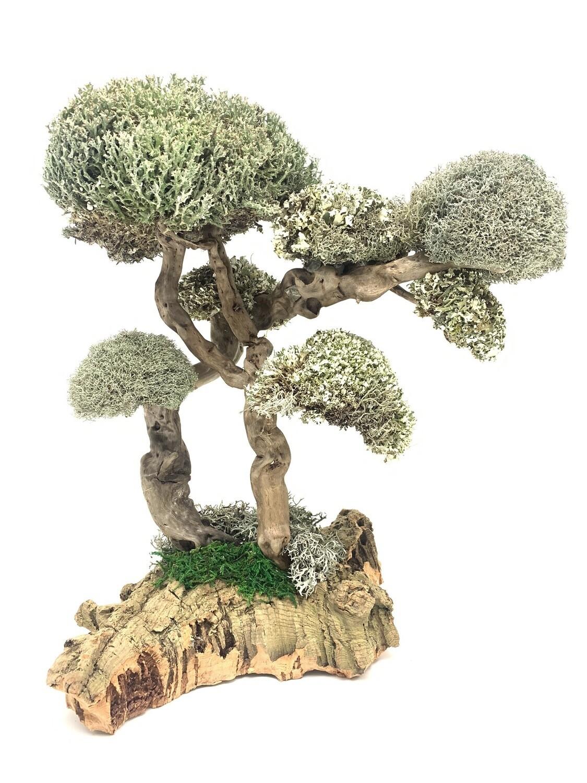 Дерево бесстыдница с кронами из цетрарии