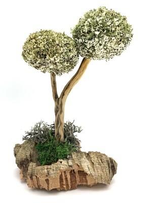 Деревце с кронами цетрарии