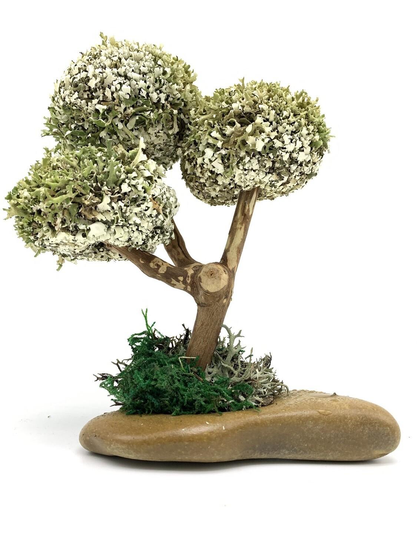 Деревце с круглыми кронами цетрарии