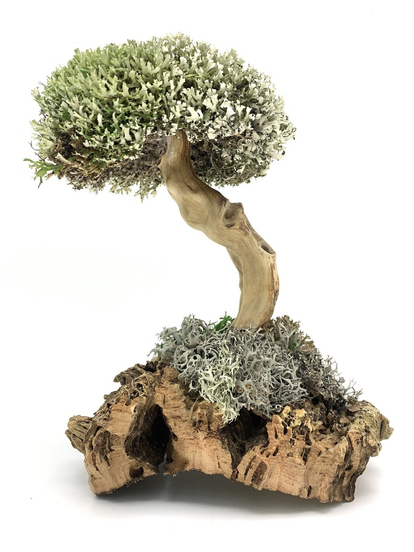 Дерево бесстыдница с кроной цетрарии