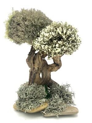 Мангровое дерево с кронами цетрарии
