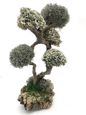 Дерево бесстыдница с кронами цетрарии