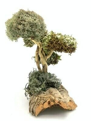 Необычное дерево с кронами из цетрарии