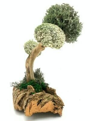 Дерево из цетрарии с изящным стволом