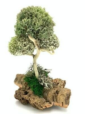 Дерево с кронами из цетрарии и пармелии