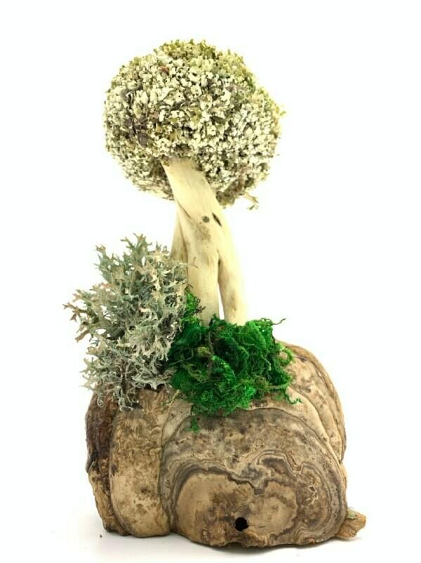 Дерево из лечебной цетрарии