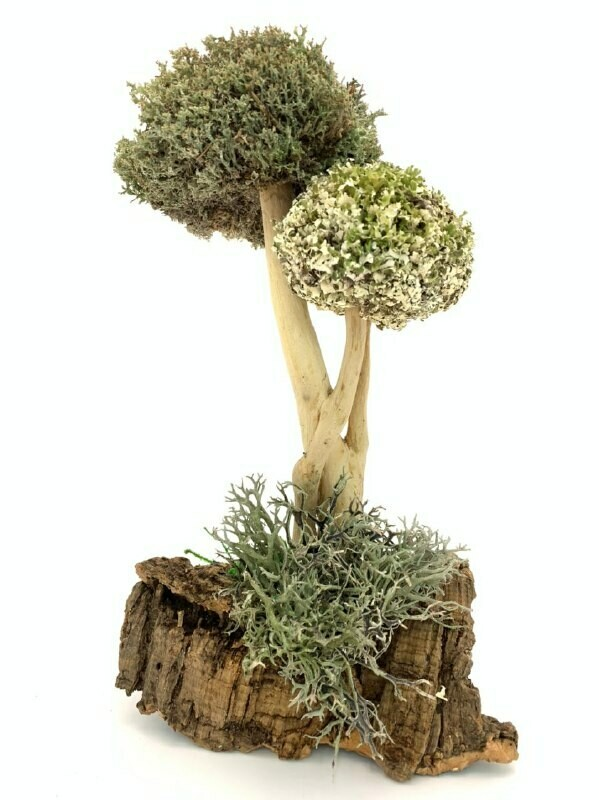 Ароматное дерево из цетрарии