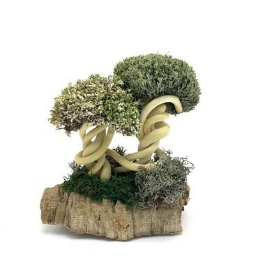Двойное деревце из цетрарии