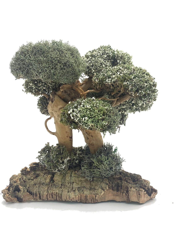 Интерьерное дерево цетрарии