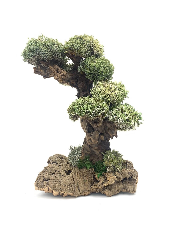 Мангровое дерево с цетрарией