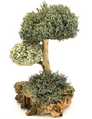 Дерево с кронами цетарии и пармелии