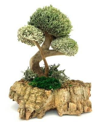 Сувенирное дерево с кронами цетрарии