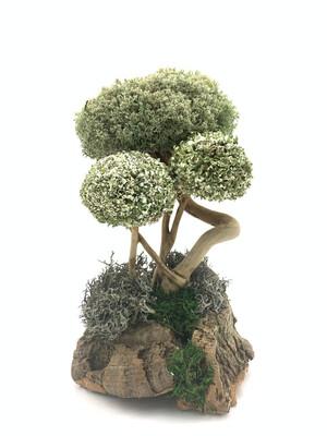 Дерево с пышными кронами цетрарии