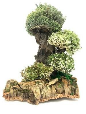 Мангровое дерево из цетрарии