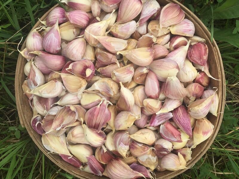 300# Organic garlic seed