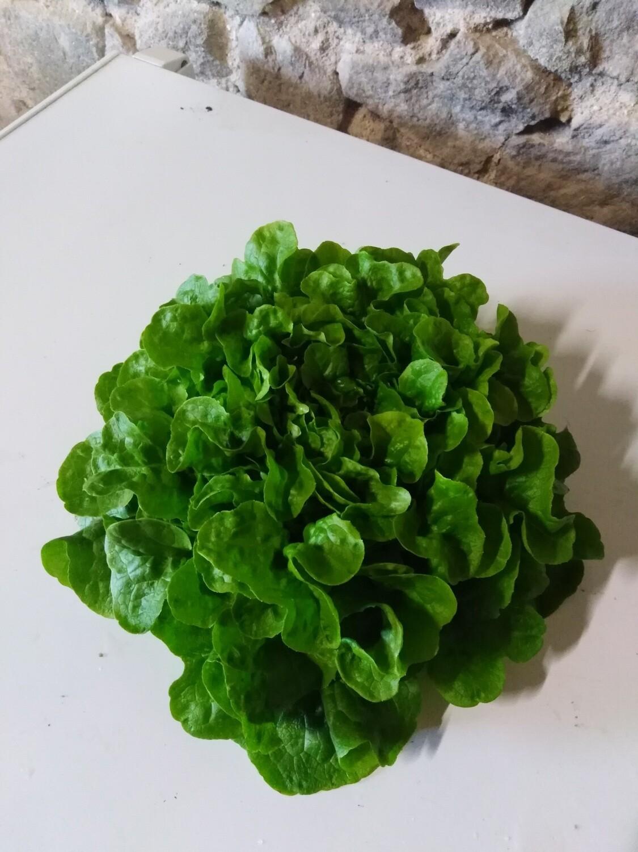 Salade Feuille de chêne verte (la pièce)