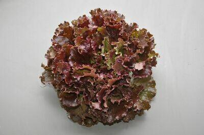 Salade Batavia brune (la pièce)