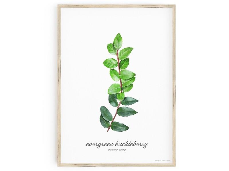 Evergreen Huckleberry Download