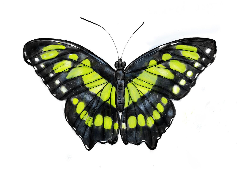 Green Butterfly, Siproeta Stelenes, Download