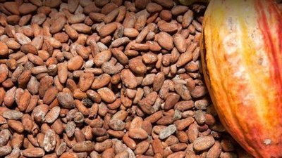 Raw Cacao Beans -- Organically Grown
