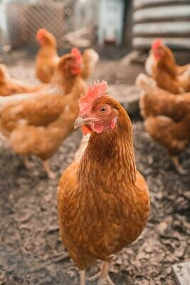 Business in a Box: Start your Chicken Farm