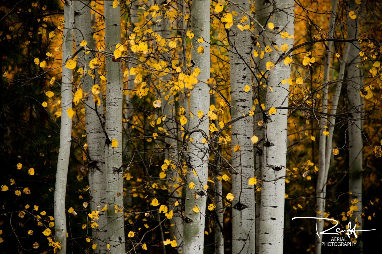 Autumn Aspens 1