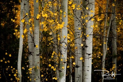Autumn Aspens 1