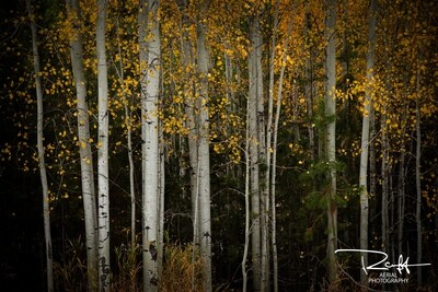 Autumn Aspens 2