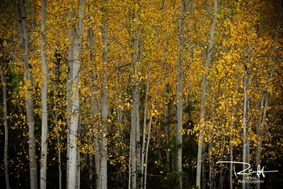 Autumn Aspens 3