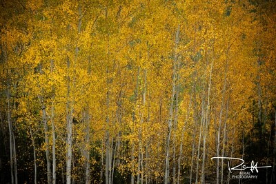 Autumn Aspens 4