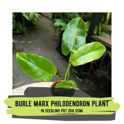 Live Plant - Burle Marx Philodendron (seedling pot)