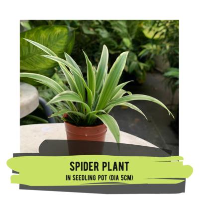 Live Plant - Spider Plant (seedling pot)