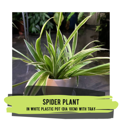 Live Plant - Spider Plant (white plastic pot with tray)