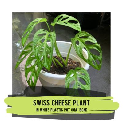 Live Plant - Swiss Cheese Plant (white plastic pot)