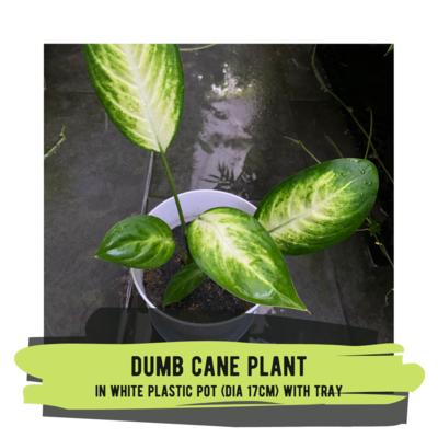 Live Plant - Dumb Cane Plant (white plastic pot with tray)
