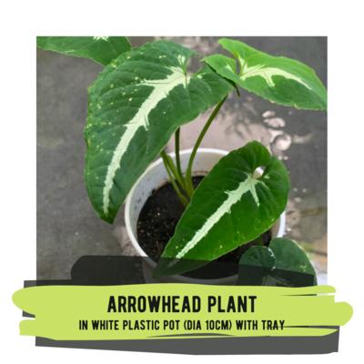Live Plant - Arrowhead Plant (small plastic pot with tray)