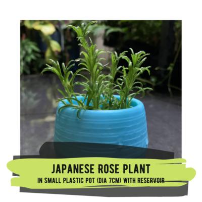 Live Plant - Japanese Rose Plant (colourful round pot)