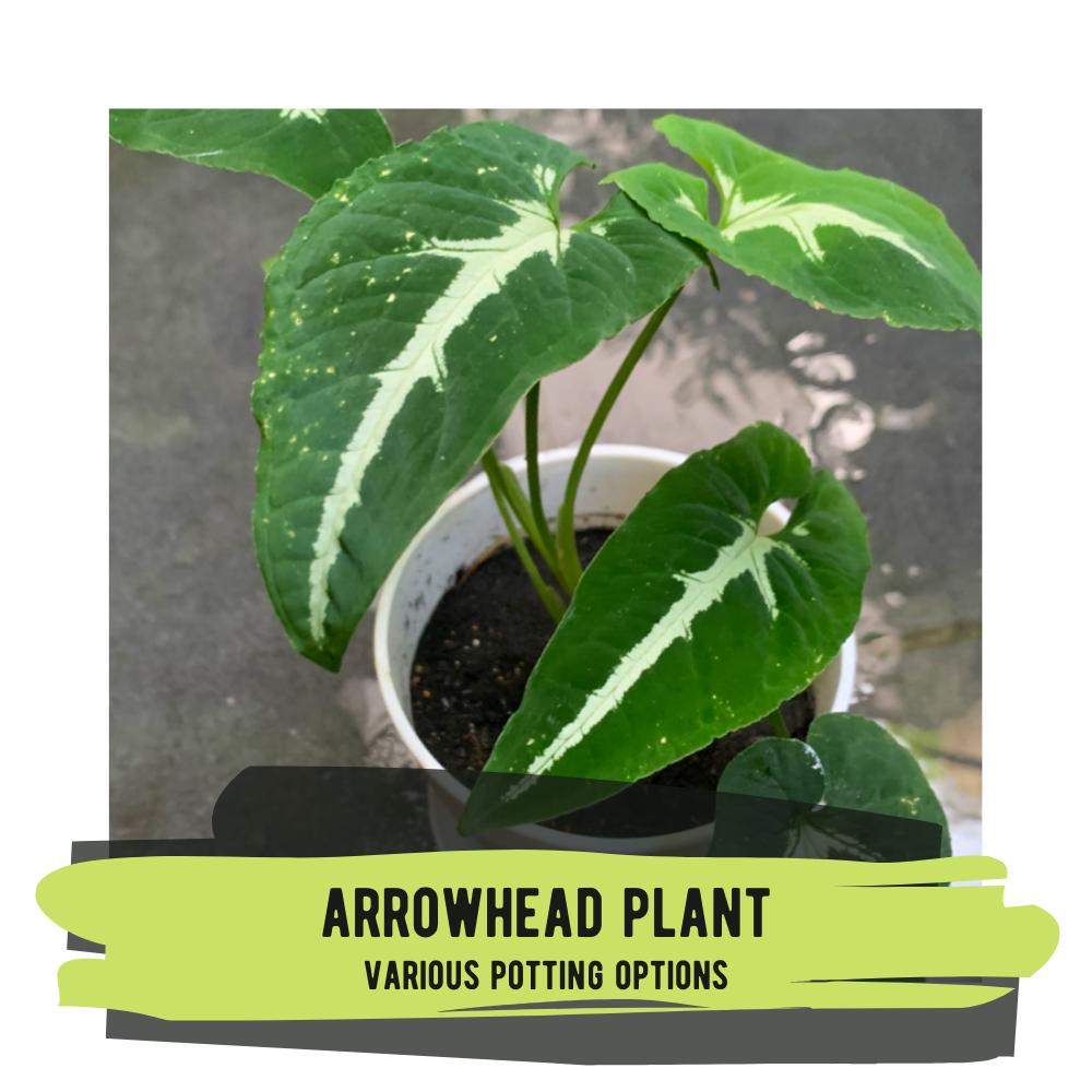 Live Plant - Arrowhead Plant (various potting options)