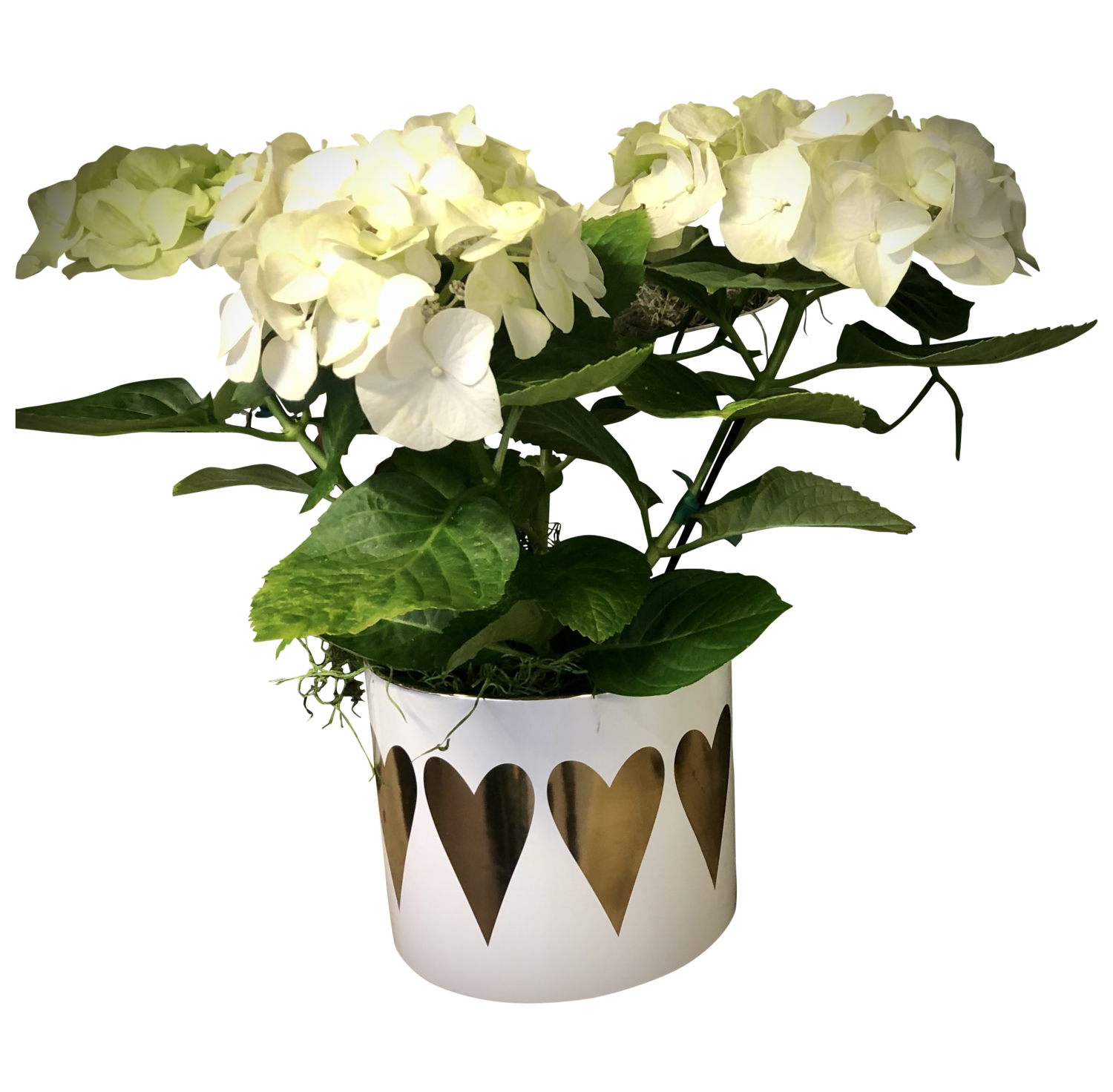 Blooming Hydrangea in Decorative Pot