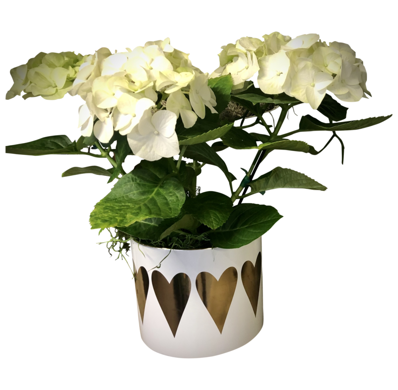 Blooming Hydrangea in Decorative Pot