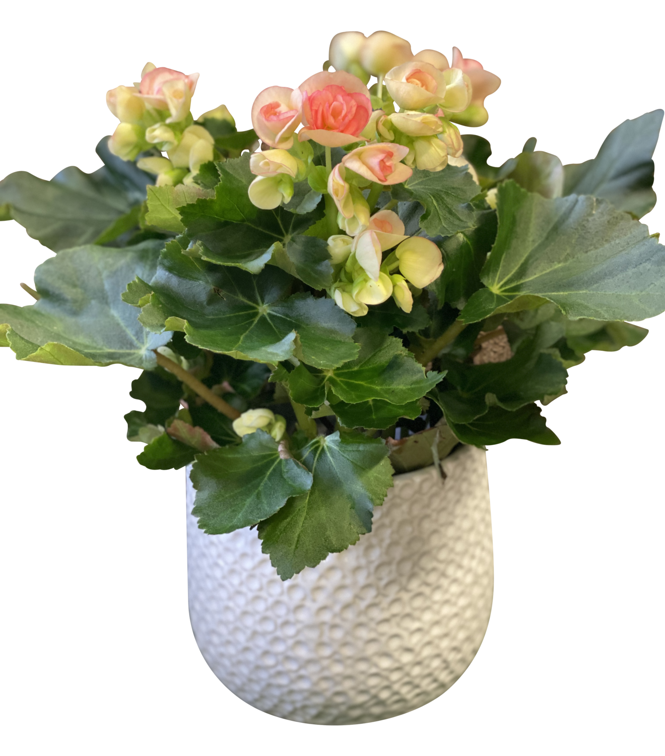 Florist Begonia in Decorative Pot