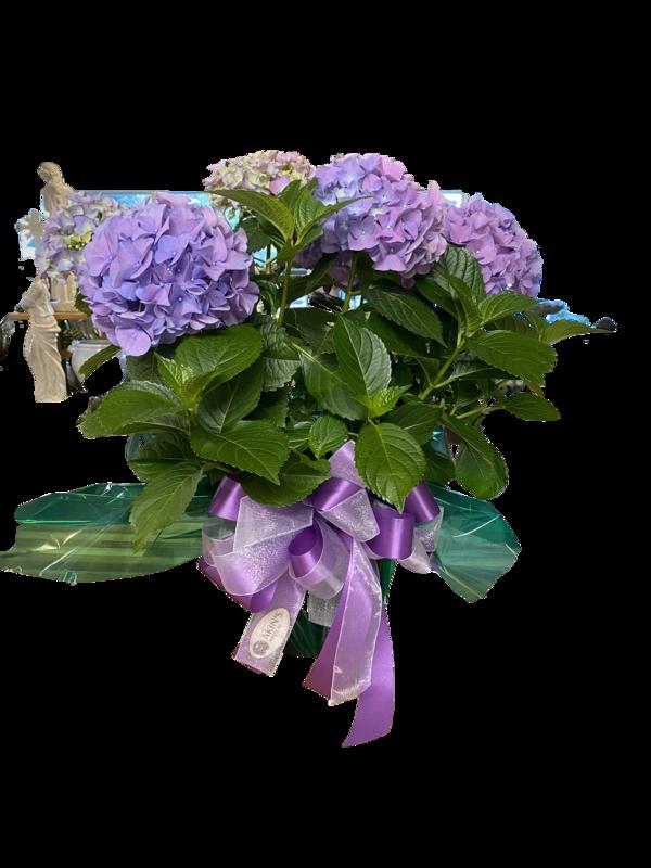 Hydrangeas In Bloom!
