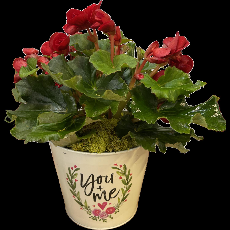 Rieger Begonia in Valentine's Pot