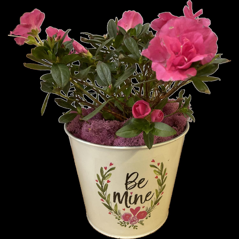 Blooming Azalea in Valentine's Pot
