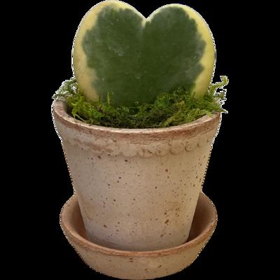 Heart Hoya in Bergs Pottery