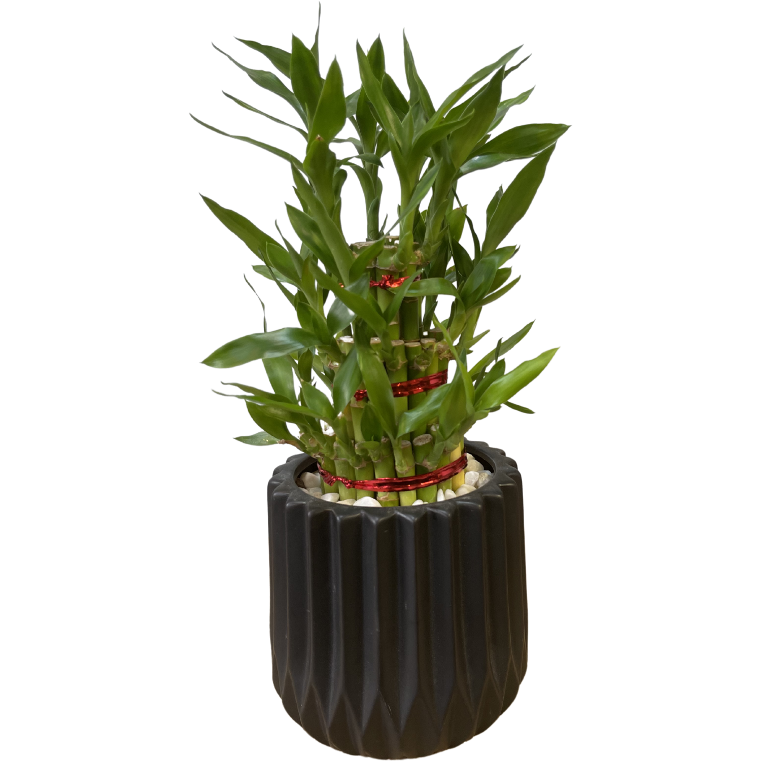 Curly Bamboo in Luxury Ceremic Pot