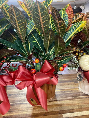 Premium Croton - With Bow And A Basket
